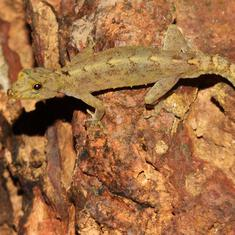 Indian, American scientists discover four species of lizards in Western Ghats