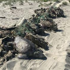 Mexico: Around 300 endangered Olive Ridley turtles found dead in fishing nets off Oaxaca coast
