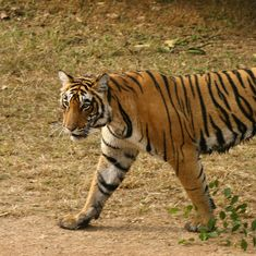 Corbett tiger deaths: Uttarakhand High Court orders CBI investigation