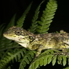 Study finds four new groups of lizards in the Western Ghats