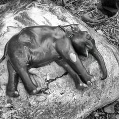 These heartbreaking images show how India is slowly killing its elephants