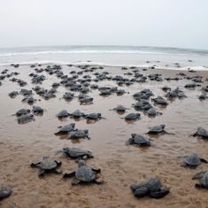 In Gujarat and Odisha, sea turtles may lose their nesting grounds to industrial projects