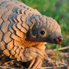 A British study examines pangolin poaching in Assam to tackle global illegal trade