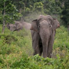 Elephants in Kodagu have adapted their behaviour to cope with the daily run-ins with humans